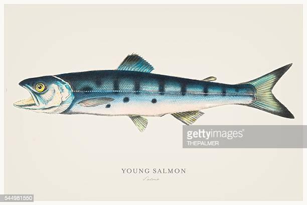 Joven salmón ilustración 1856