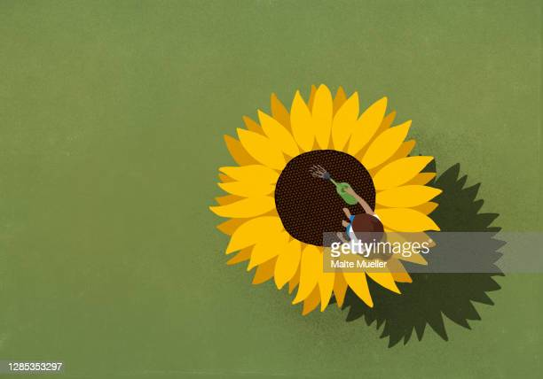 young woman watering large sunflower on green background - leisure activity stock illustrations