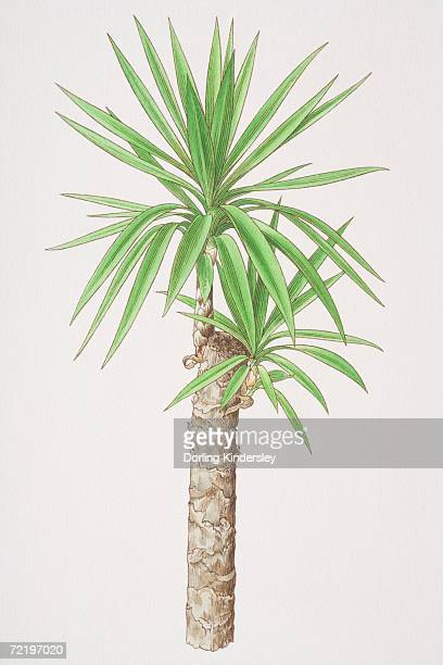 Yucca aloifolia, Spanish Bayonet plant.