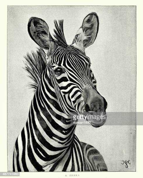 zebra - zebra stock illustrations