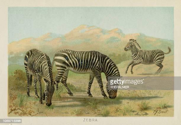 ilustrações de stock, clip art, desenhos animados e ícones de zebras chromolithograph 1896 - litografia