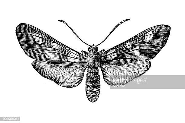 Zygaena lonicerae, the narrow-bordered five-spot burnet moth