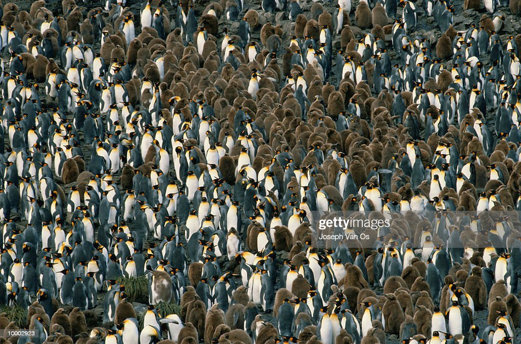 KING PENGUINS IN THE SOUTH GEORGIA ISLANDS : ストックフォト