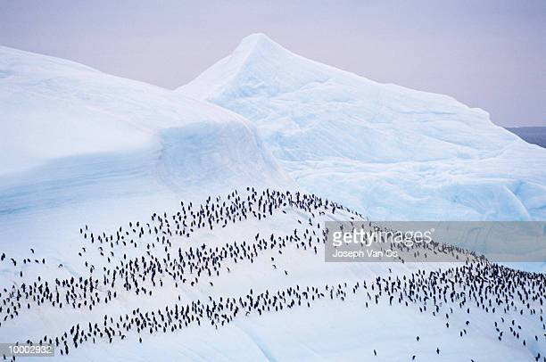overview of penguins on a glacier - chinstrap penguin stock pictures, royalty-free photos & images
