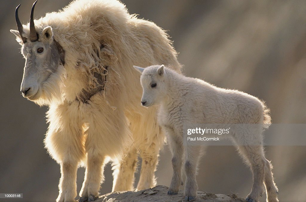 MOUNTAIN GOAT WIRTH KID AT JASPER NATIONAL PARK IN CANADA : Stock Photo