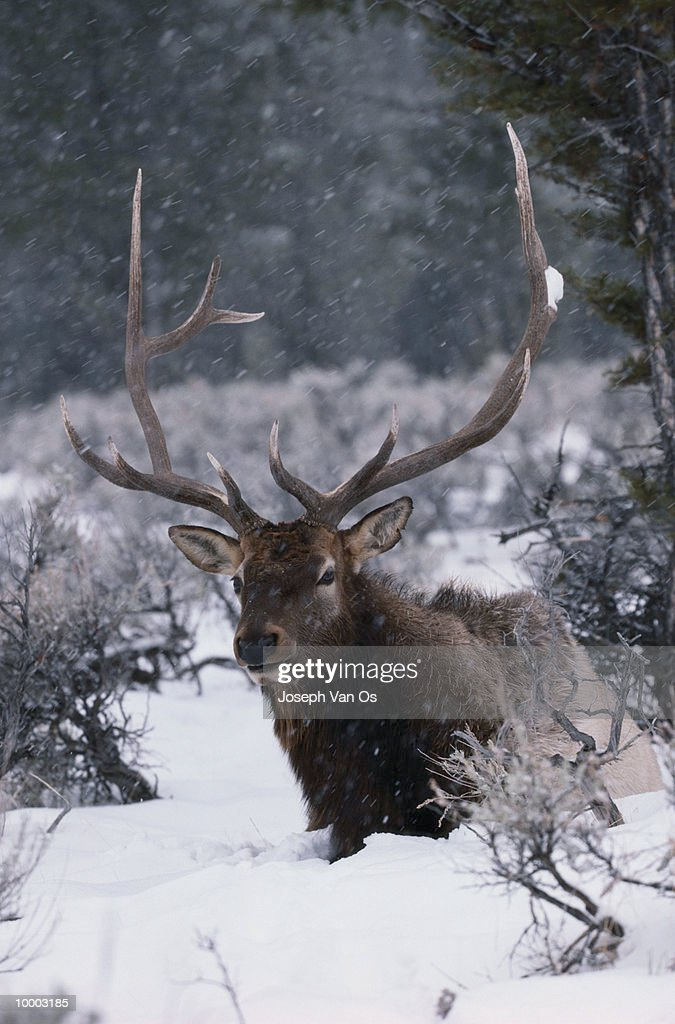 AMERICAN ELK IN SNOW AT YELLOWSTONE NATIONAL PARK IN WYOMING : Stock-Foto