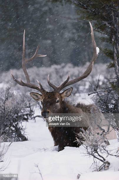 american elk in snow at yellowstone national park in wyoming - vinter os bildbanksfoton och bilder