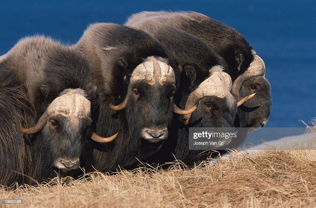 MUSK OXEN AT NUNIVAK ISLAND IN ALASKA : Stock Photo
