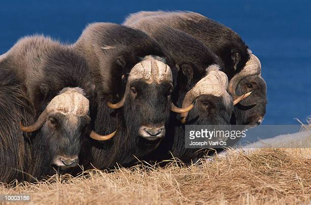 musk oxen at nunivak island in alaska - musk ox stock photos and pictures