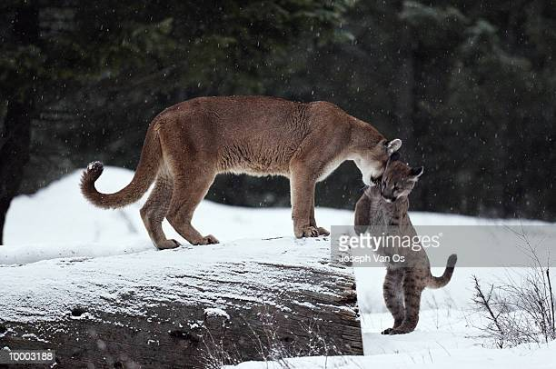 cougar w/kitten in snow in north america - vinter os bildbanksfoton och bilder