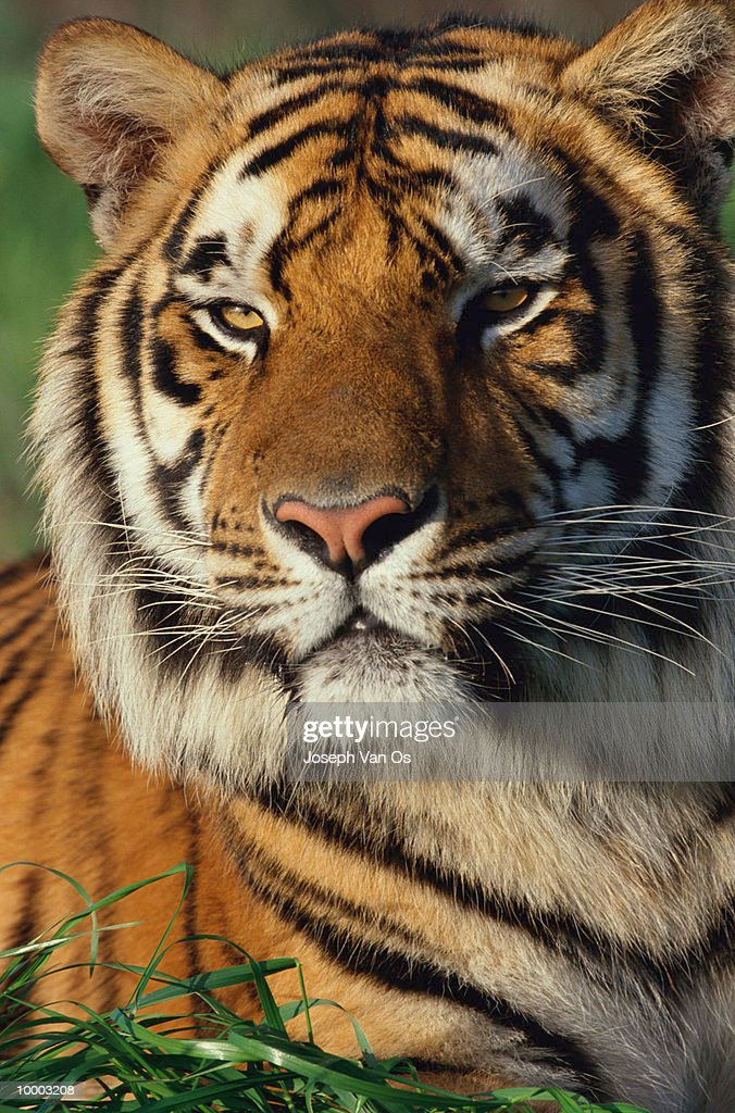 BENGAL TIGER IN DETAIL : Foto de stock