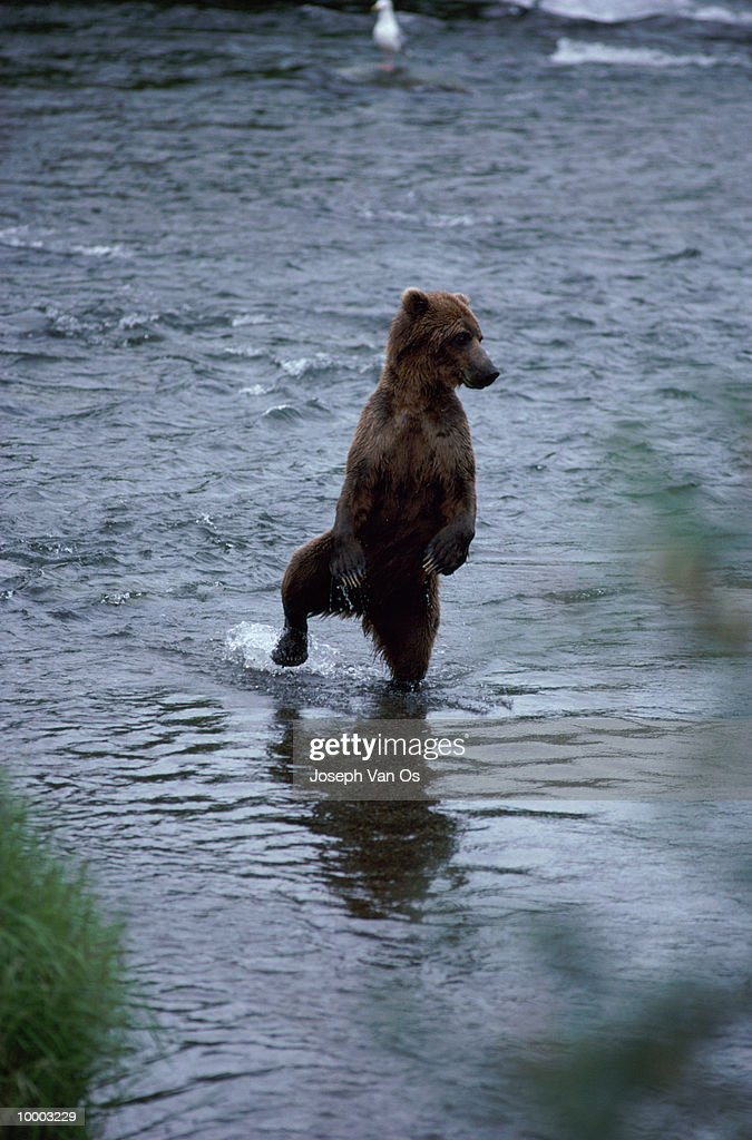 UPRIGHT BROWN BEAR WITH FOOT UP IN RIVER IN ALASKA : Stock Photo
