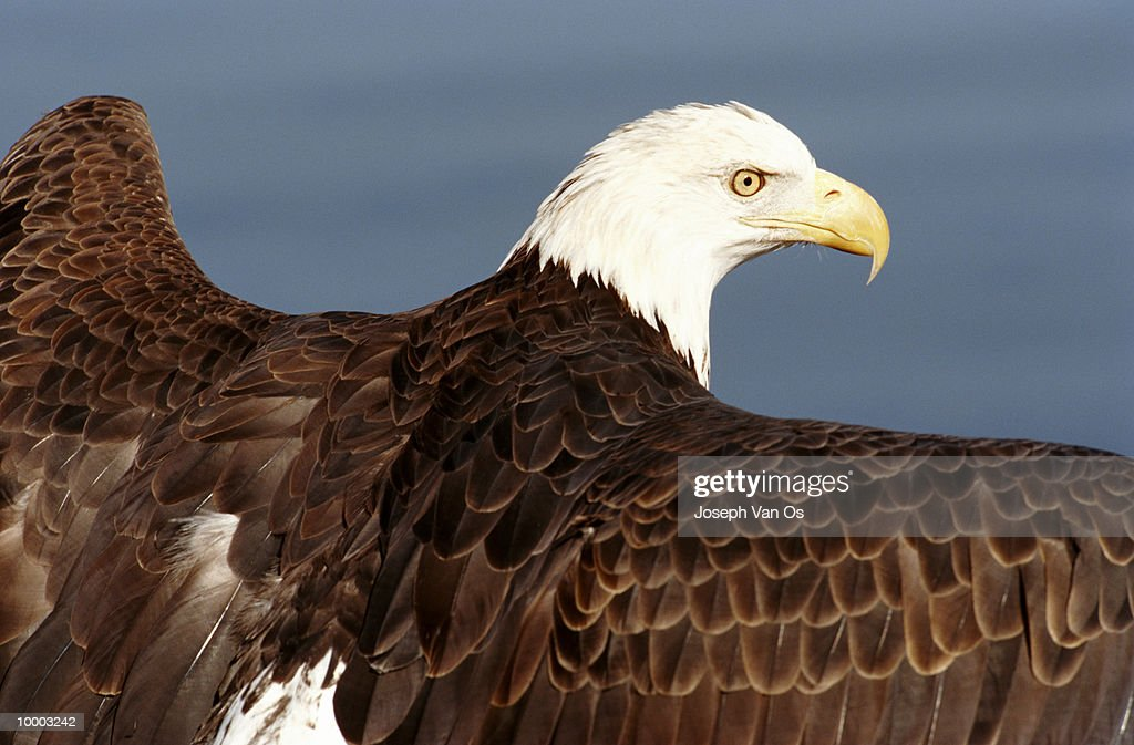 BALD EAGLE IN NORTH AMERICA IN DETAIL : Photo