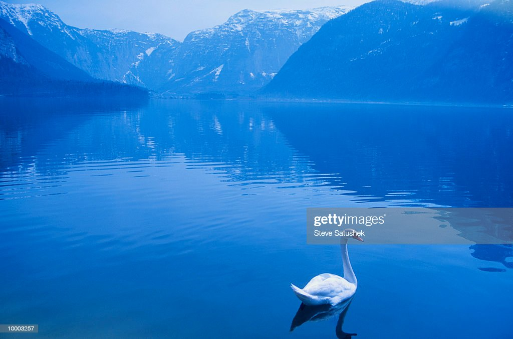 SWAN ON HALLSTATT LAKE IN AUSTRIA : Stock Photo