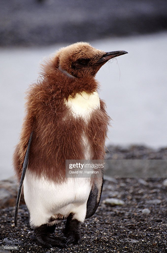 KING PENGUIN CHICK ON THE SOUTH GEORGIA ISLANDS : Stock Photo