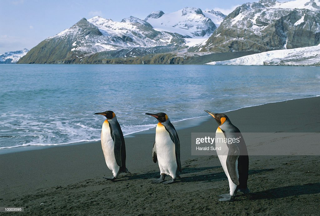KING PENGUINS IN SOUTH GEORGIA, SOUTH ATLANTIC : Foto de stock