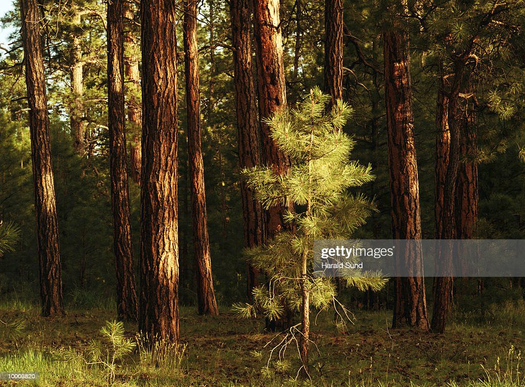 PINE TREES IN THE KAIBAB NATIONAL FOREST IN UTAH : Stock Photo