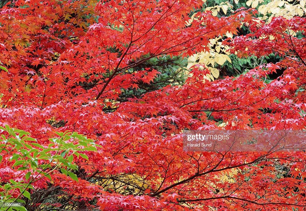 AUTUMN TREES IN WASHINGTON : Stock-Foto