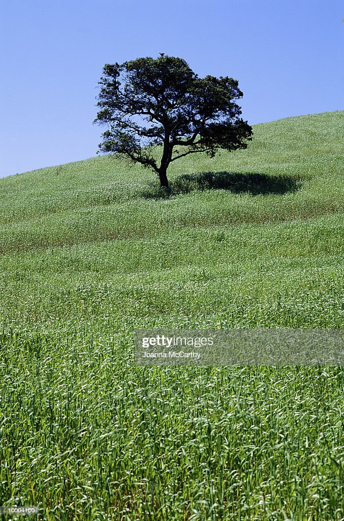 LONE TREE ON HILLSIDE : Stock Photo