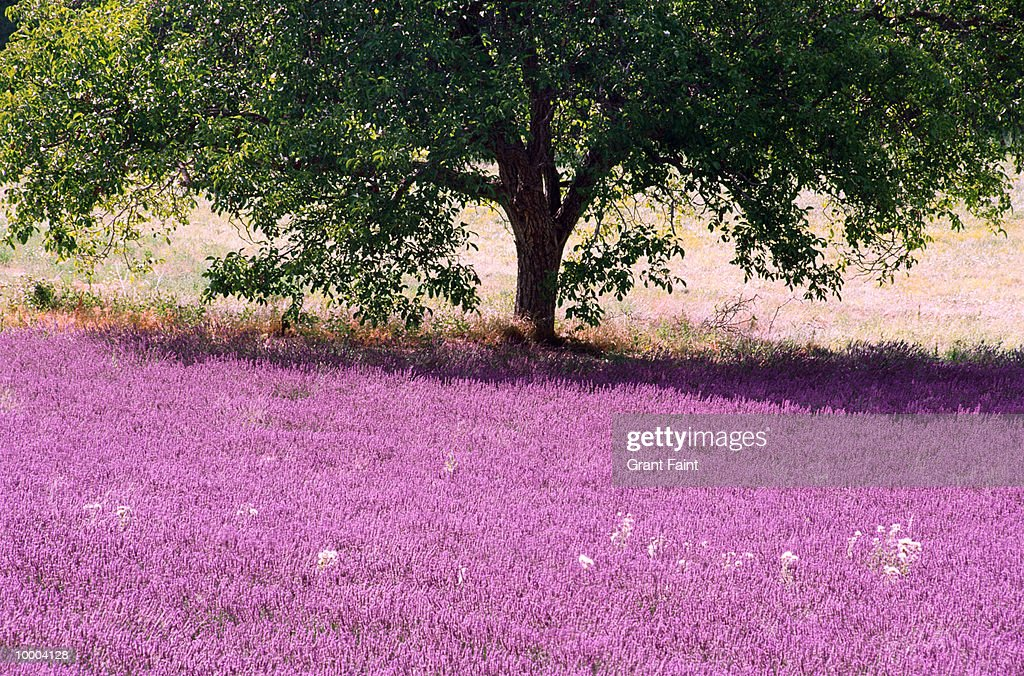 TREE & LAVENDER FIELD IN PROVENCE, FRANCE : Stock-Foto