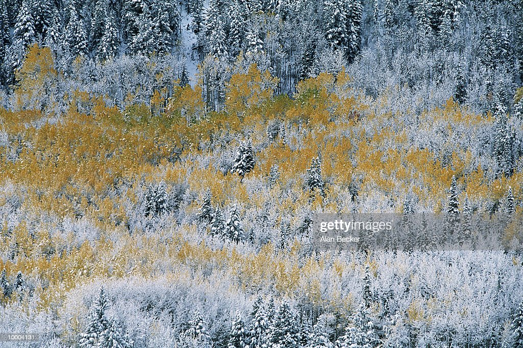 SNOW ON GROVE OF AUTUMN ASPENS IN COLORADO : Stock Photo