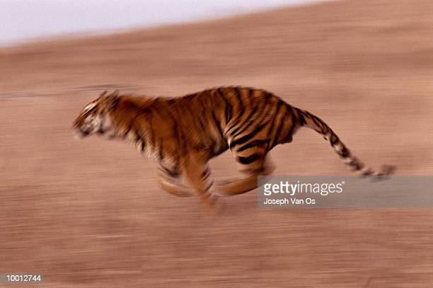 BENGAL TIGER RUNNING IN FIELD IN BLUR