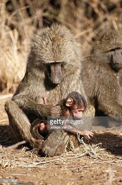 baboon & newborn at nakuru national park in kenya - ugly monkey stock photos and pictures
