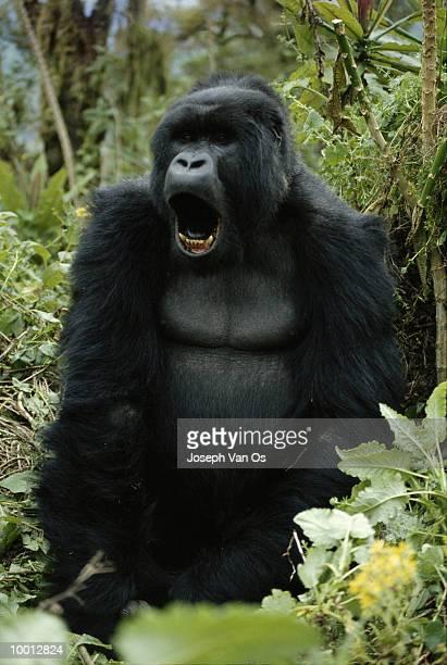 mountain gorilla at virunga national park in rwanda - ugly monkey stock photos and pictures