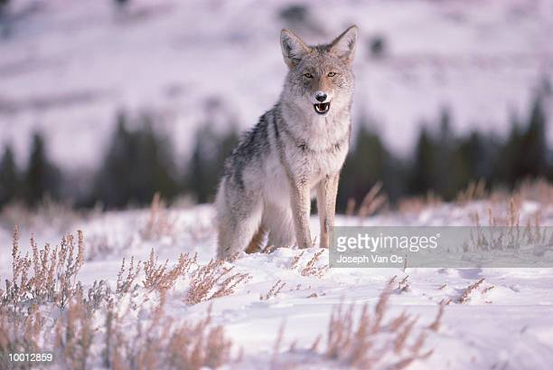coyote at yellowstone national park in wyoming - vinter os bildbanksfoton och bilder