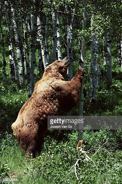 grizzly bear looking up tree in wyoming - pawed mammal stock pictures, royalty-free photos & images