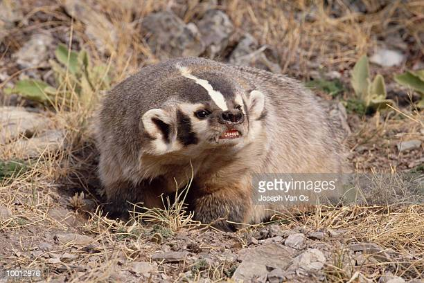 american badger in montana - american badger stock photos and pictures