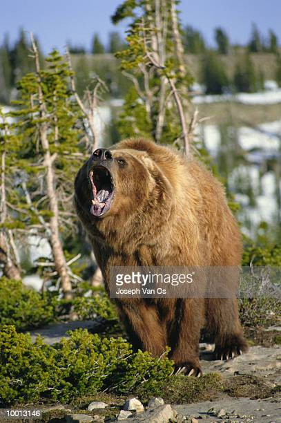 GRIZZLY BEAR GROWLING IN WYOMING