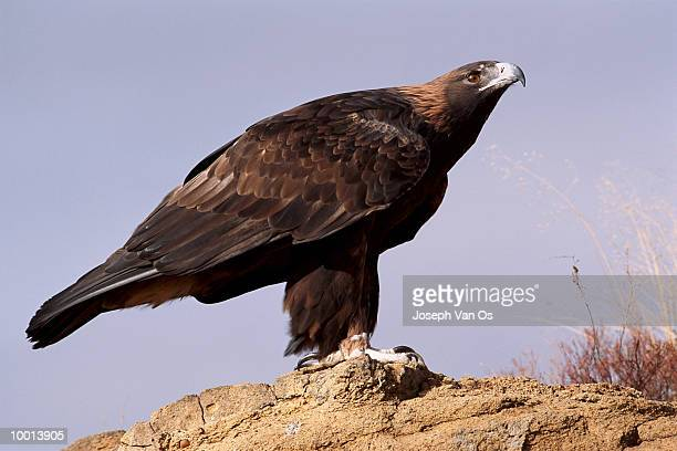 GOLDEN EAGLE ON ROCK IN WESTERN NORTH AMERICA