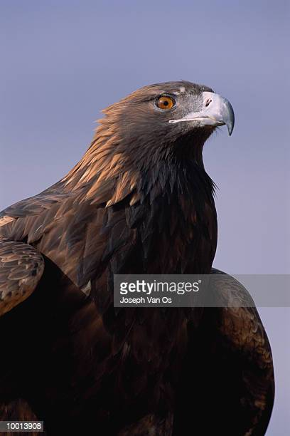 CLOSE-UP OF A GOLDEN EAGLE IN WESTERN NORTH AMERICA