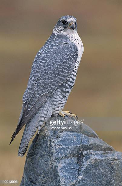 GYRFALCON PERCHED ON ROCK IN CANADA