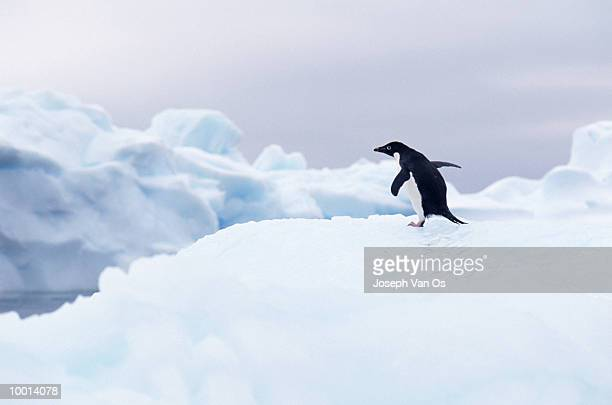 adelie penguin on iceberg in the antarctica - adelie penguin stock pictures, royalty-free photos & images