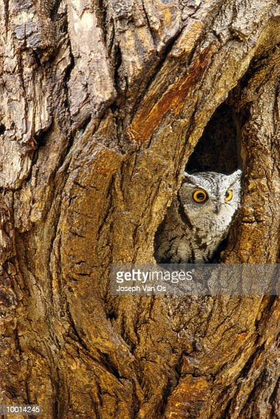 EASTERN SCREECH OWL IN EASTERN NORTH AMERICA