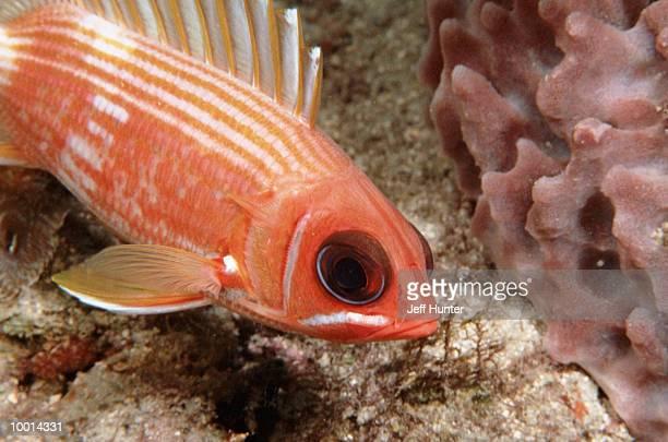 squirrelfish in florida in detail - squirrel fish stockfoto's en -beelden