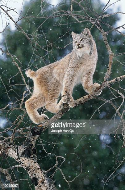 lynx on tree branch in snow in north america - vinter os bildbanksfoton och bilder