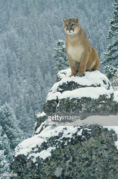 mountain lion on mountain rock in north america - vinter os bildbanksfoton och bilder