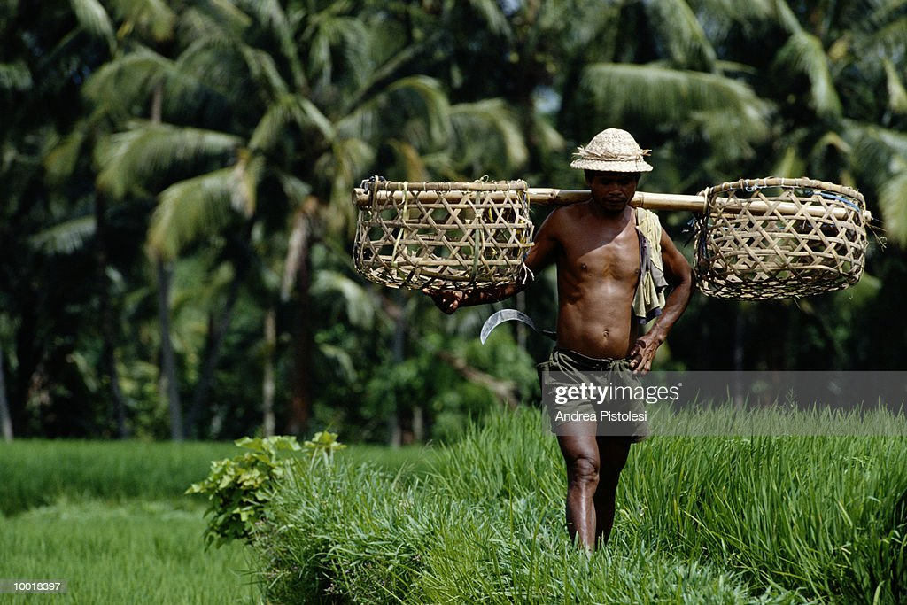 MAN IN RICE FIELD IN BALI, INDONESIA : Stock Photo