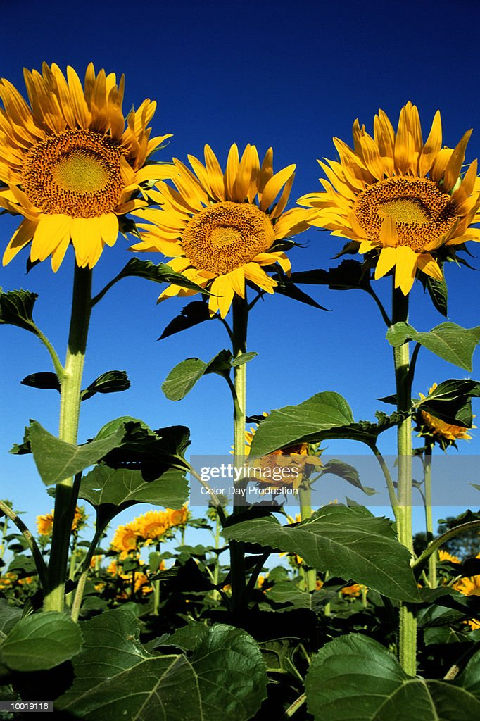 SUNFLOWERS IN PROVENCE, FRANCE : Stock Photo