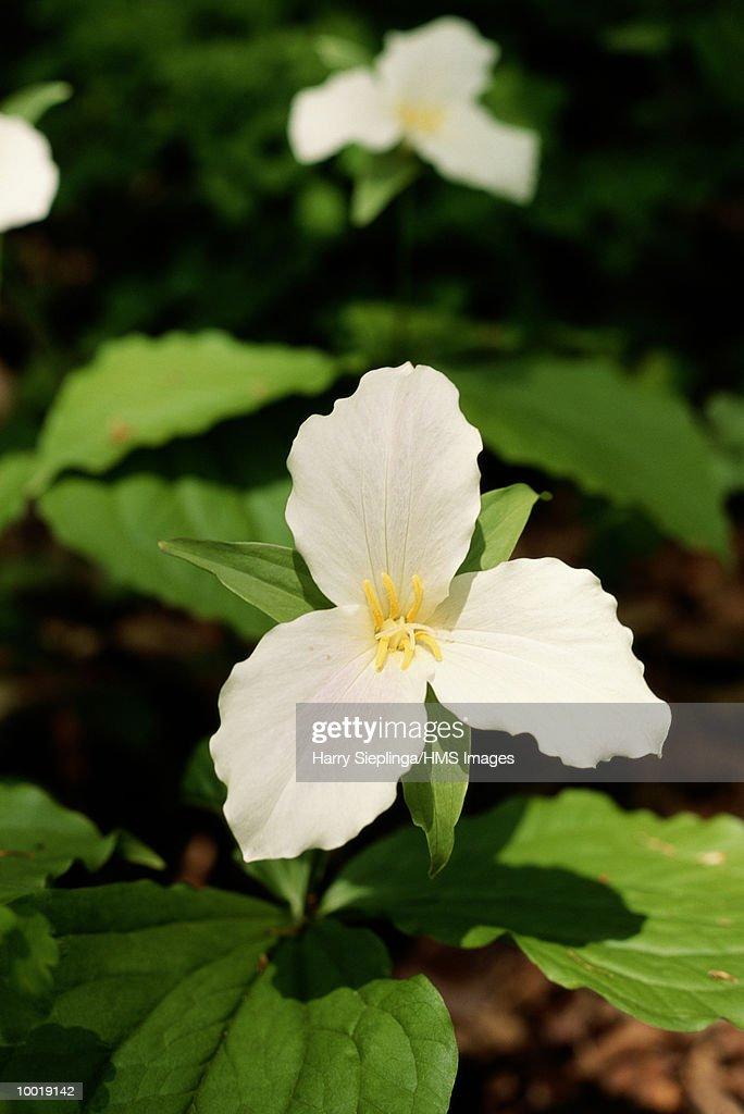 TRIILLIUM FLOWER IN WHITEHALL, MICHIGAN : Stockfoto