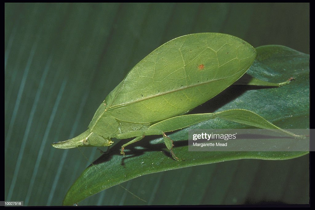 LEAF-IMITATING INSECT IN COSTA RICA : Stock Photo