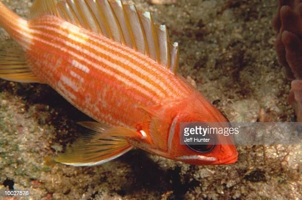 squirrelfish in the atlantic ocean in florida - squirrel fish stockfoto's en -beelden