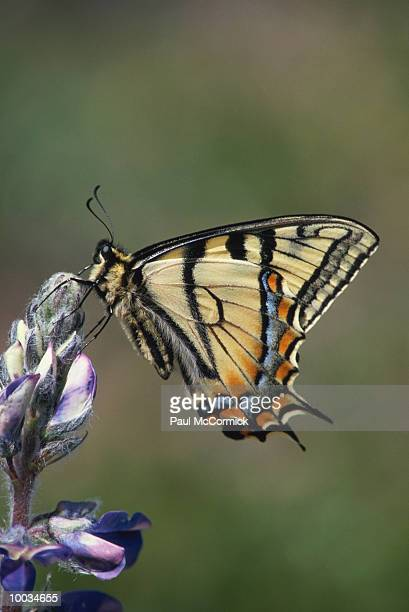 swallowtail butterfly on lupine flower in alaska - swallowtail butterfly stock pictures, royalty-free photos & images