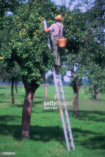apple picker in germany - apple harvest stock pictures, royalty-free photos & images