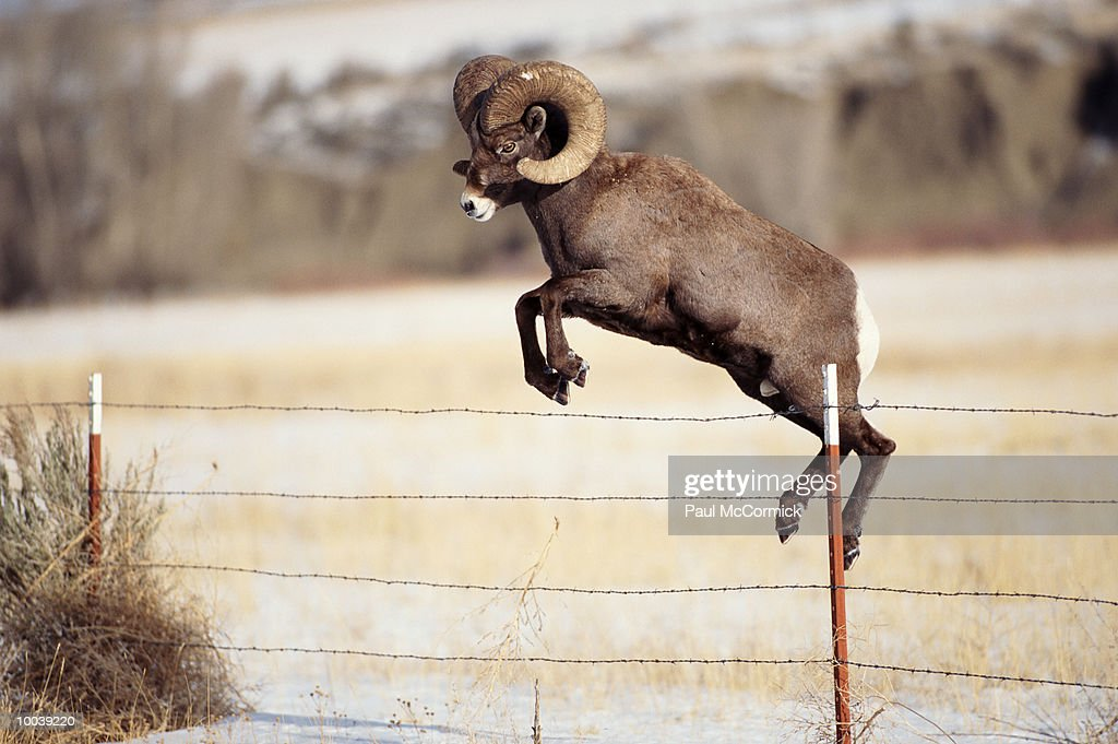 BIGHORN SHEEP OR LARGE RAM JUMPING FENCE IN MONTANA : Stock Photo
