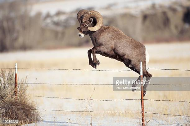 bighorn sheep or large ram jumping fence in montana - file:bighorn,_grand_canyon.jpg stock pictures, royalty-free photos & images