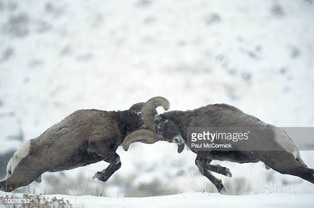 bighorn sheep in dominance clash in montana - ram animal stock photos and pictures